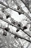 Branchements d'arbre couverts de la glace photographie stock libre de droits