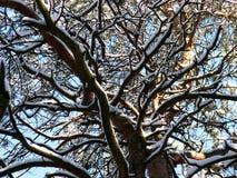 Branchements d'arbre couverts de neige Photo stock