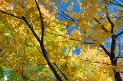Branchements d'arbre d'érable Images stock