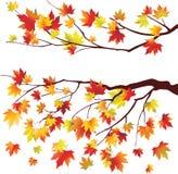 Branchements d'arbre d'érable d'automne Photo stock