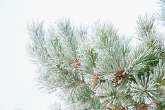 Branchements d'arbre de Noël Photo libre de droits