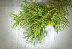 Branchements d'arbre de Noël avec des cônes de pin Photos libres de droits