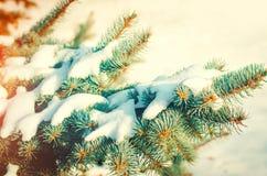 Branchements d'arbre de Noël Arbre de Noël dans la neige sur un ensoleillé Photo libre de droits