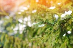 Branchements d'arbre de Noël Arbre de Noël dans la neige un jour ensoleillé le début du ressort ou de la fin de l'hiver Temps cla Images stock
