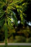 Branchements d'arbre de pin Photo libre de droits