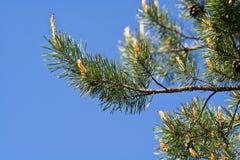 Branchements d'arbre de pin Image libre de droits