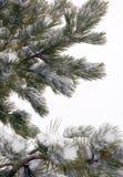 Branchements d'arbre de pin couverts dans la neige images stock