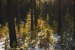 Branchements d'arbre de sapin de neige sous des chutes de neige Photo libre de droits