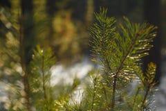 Branchements d'arbre de sapin de neige sous des chutes de neige Photo stock