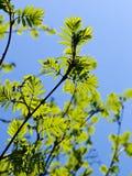 Branchements d'arbre de sorbe avec des lames photo libre de droits