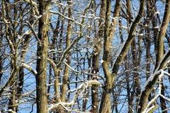 Branchements d'arbre en hiver Images stock
