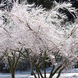 Branchements d'arbre gelés photographie stock libre de droits