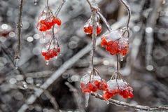 Branchements d'arbre glacials Photo libre de droits
