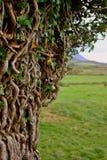 Branchements d'arbre tordus Photo stock