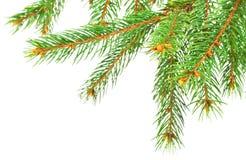 Branchements d'arbre verts de pin Image libre de droits