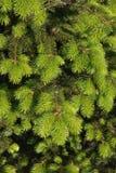 Branchements d'un arbre de Noël Photos libres de droits