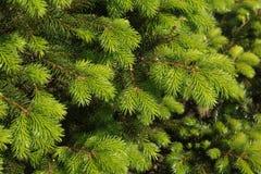 Branchements d'un arbre de Noël Images libres de droits
