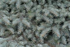 Branchements d'un fourrure-arbre argenté Images libres de droits