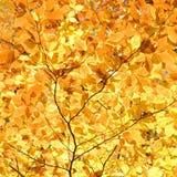 Branchements de feuillage jaune d'automne. Photos libres de droits