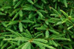 branchements de Fourrure-arbre Photos stock