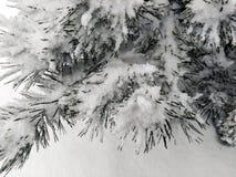 Branchements de pin couverts de neige photo stock