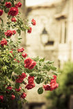 Branchements de Rose dans une vieille ruelle de ville photographie stock libre de droits