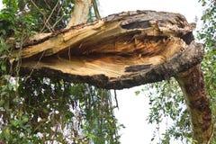 Branchements des arbres décomposés. Image libre de droits