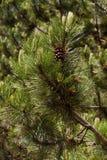 Branchements et cônes de pin Image libre de droits