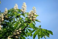 Branchements fleurissants de châtaigne Photos stock