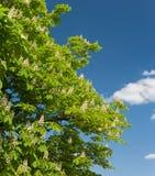 Branchements fleurissants de châtaigne Images stock