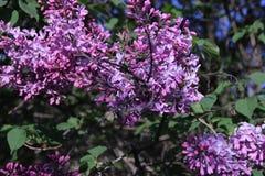 Branchements lilas Image libre de droits