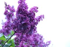 Branchements lilas Images libres de droits