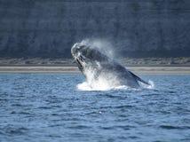 Brancher de baleine droite Photographie stock libre de droits