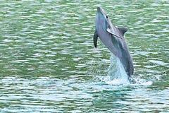 Brancher de dauphin de la mer Photo stock
