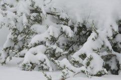 Branches à feuilles persistantes d'arbre chargées avec la neige fraîche lourde image libre de droits