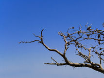 Branches. Without leaves on blue sky Royalty Free Stock Photography