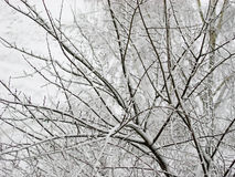 Branches. Covered by a snow royalty free stock photo