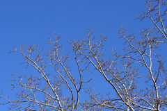 Branches. Tree branches and the blue sky in the background Royalty Free Stock Images