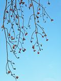 Branches Royalty Free Stock Images