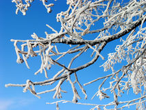 Branches. Ice-covered branches Stock Photos