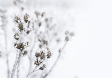 Free Branches A Bush Covered With Frost. Royalty Free Stock Image - 84894646