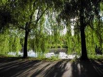 Branches accrochantes de citrin un jour ensoleillé en parc au-dessus de l'eau Belles ombres confortables des arbres image libre de droits