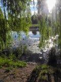Branches accrochantes de citrin un jour ensoleillé en parc au-dessus de l'eau Protections de lis sur l'eau dans l'étang images libres de droits