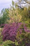 Branches accrochantes pleines des fleurs pourpres photographie stock libre de droits
