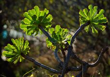 Branches of aeonium stock images