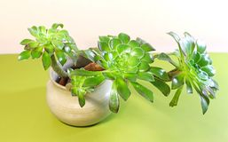 Branches of aeonium with leaves in a pot royalty free stock photo