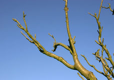 Branches against blue sky. Bare tree branches against clear blue sky Royalty Free Stock Photo