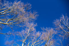 Branches against the blue sky. Bare branches of European Beech tree against the blue sky Royalty Free Stock Photos