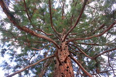 Branches And Trunk Of Sequoia Gigantea Royalty Free Stock Images