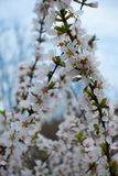Branches of Ando cherry against the sky. In spring Royalty Free Stock Image